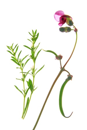 faboideae: Flowering bush bean and winter savory before white background