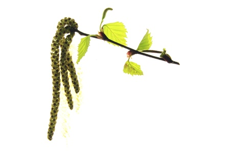 allergens: flowering birch twig before white background
