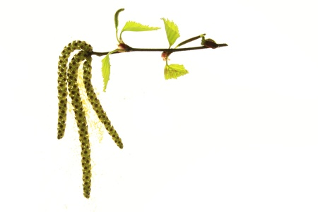 flowering birch twig before white background Stock Photo - 13234071