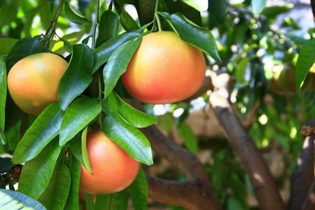 subtropics: frutti maturi pompelmo sull'albero