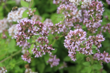 vulgare: flowering Oregano  Origanum vulgare  in the herb patch Stock Photo