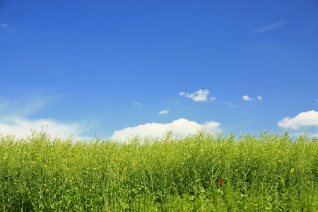 Rapeseed field with blue sky after flowering photo