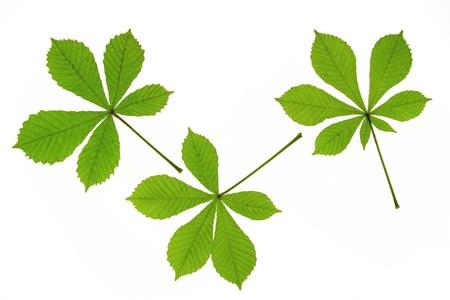 aesculus hippocastanum: three leaves of horse chestnut  Aesculus hippocastanum  Stock Photo