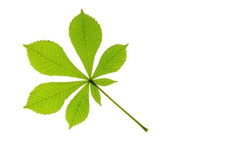 aesculus hippocastanum: One leaf of horse chestnut  Aesculus hippocastanum  Stock Photo