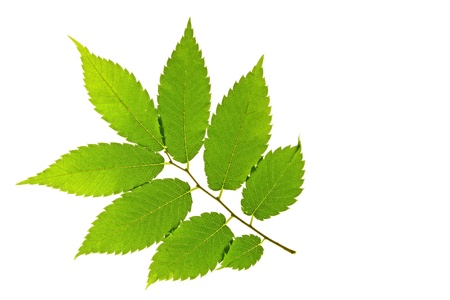 fresh leaves of the Japanese zelkova - Zelkova serrata - in front of white background