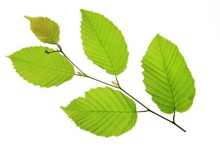 hornbeam: Common Hornbeam  Carpinus betulus , with little twig with fresh green leaves