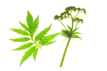 Valerian  Valeriana officinalis  with flower and leaf on a white background