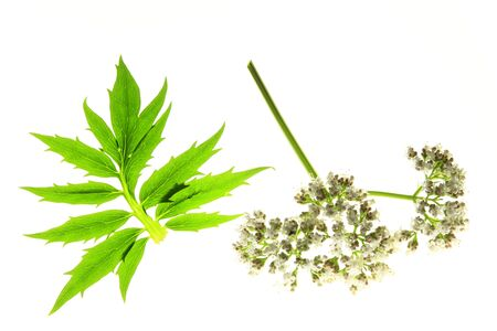 catnip: Valerian  Valeriana officinalis  with flower and leaf on a white background