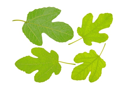 lobed: four fig leaves on a white background