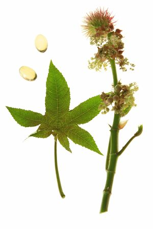 laxatives: Flower and leaf of the castor plant, before a white background with castor oil capsules for oral use in cases of constipation