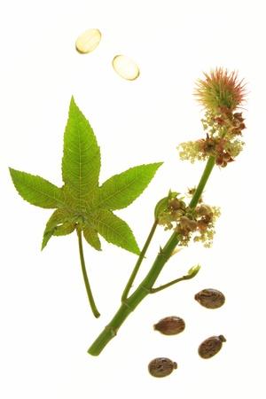 ricin: Fleurs et feuilles de la plante de ricin, devant un fond blanc avec des capsules d'huile de ricin � usage oral en cas de constipation un semences certains