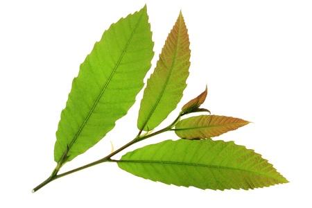 castanea sativa: little twig with fresh leaves of the chestnut tree  maroon  - Castanea sativa Stock Photo