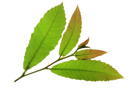 little twig with fresh leaves of the chestnut tree  maroon  - Castanea sativa Stock Photo