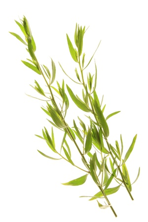 French Tarragon - Artemisia dracunculus var  sativa, fresh twigs against a white background photo