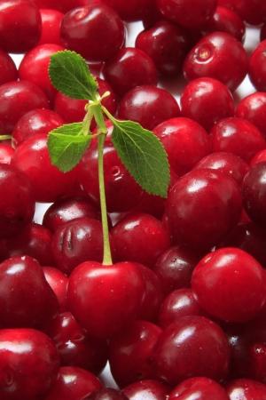 freshly picked sour cherries
