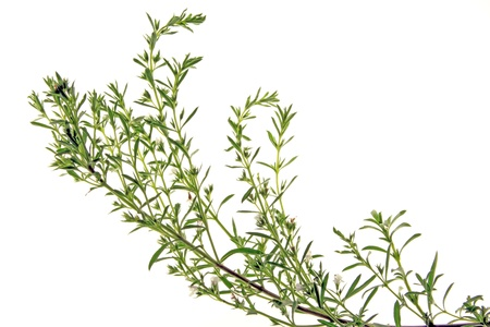 Winter savory  mountain savory  - Satureja montana