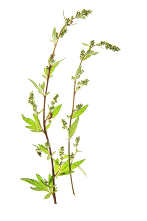 Wormwood  Artemisia vulgaris , fresh sprouting in front of a white background