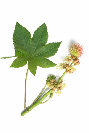 laxatives: Flower and leaf of the castor plant, before a white background