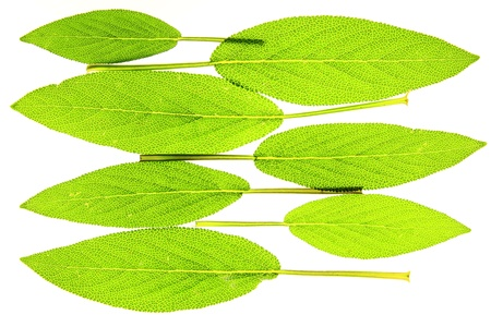 sage leaves before white background photo