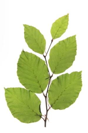 pflanzen: Zweig mit frischen, gr�nen Bl�ttern der Rotbuche  Fagus sylvatica  vor wei�em Hintergrund Stock Photo