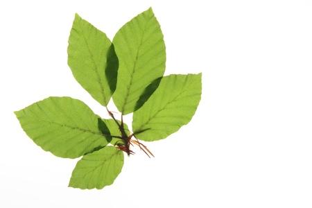 fagaceae: Zweig mit frischen, gr�nen Bl�ttern der Rotbuche  Fagus sylvatica  vor wei�em Hintergrund Stock Photo