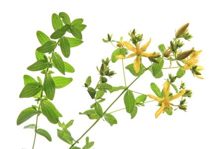 flowering plant: Erba di San Giovanni s Hypericum perforatum - pianta da fiore contro uno sfondo bianco Archivio Fotografico