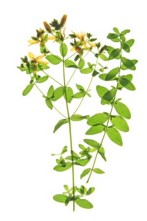 St  John s wort  Hypericum perforatum  - flowering plant against a white background photo