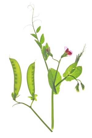 suger: flowering sweet pea or suger pea   Pisum sativum  with  pod and tendrils before a white background