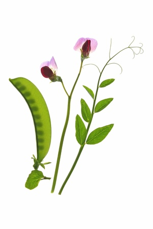 sweet pea: flowering sweet pea or suger pea   Pisum sativum  with  pod and tendrils before a white background