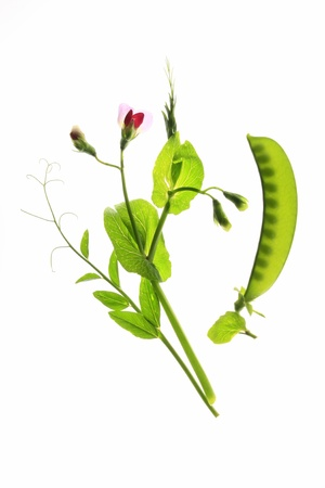 suger: flowering sweet pea or suger pea  Pisum sativum  with  pod and tendrils before a white background Stock Photo