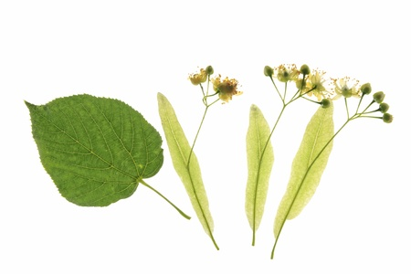 Flowers of the lime tree  Tilia  with one leaf against a white background Reklamní fotografie