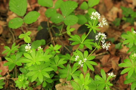 sweet woodruff: Woodruff  Galium odoratum , flowering plants in the wild  forest  Stock Photo