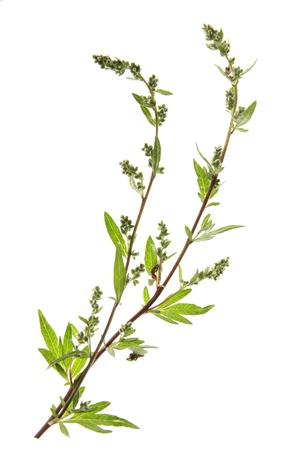 vulgaris: Shoot tips with flower buds of sagebrush  artemisia vulgaris  Stock Photo