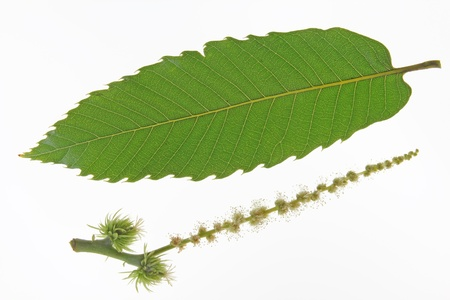 fagaceae: Inflorescence with male and female flowers and a single leaf of the sweet chestnut tree Castanea sativa isolated before a white background