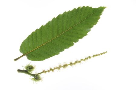 chestnut male: Inflorescence with male and female flowers and a single leaf of the sweet chestnut tree Castanea sativa isolated before a white background