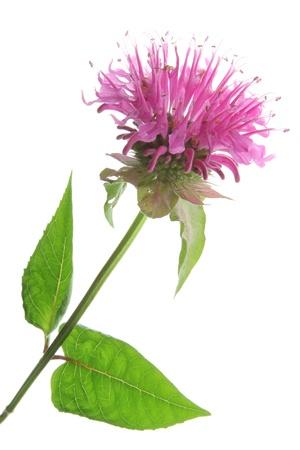 bee on white flower: Flower and leaves of Oswego tea or Bergamot - Monarda didyma - against a white background