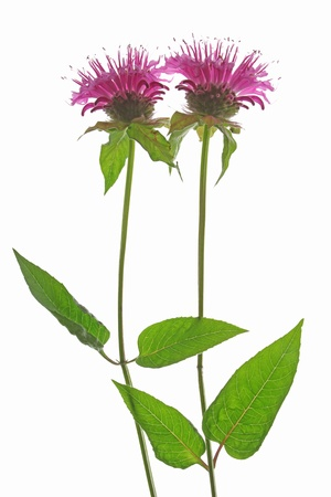 Two flowers of Oswego tea or Bergamot - Monarda didyma - against a white background