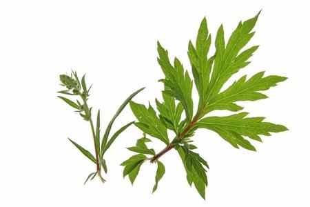 mugwort  Artemisia vulgaris  against a white background