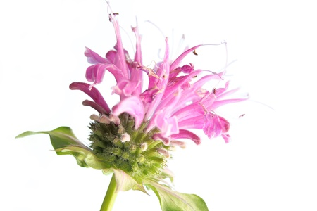 bee balm: Flower of bee balm  Monarda didyma  against a white background