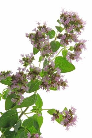 vulgare: flowering oregano  Origanum vulgare  against a white background Stock Photo