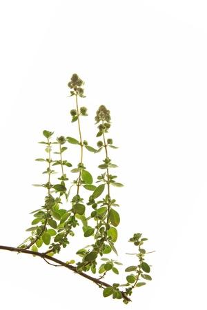 strikingly: Marjoram or Sweet marjoram  Origanum majorana , against a white background Stock Photo