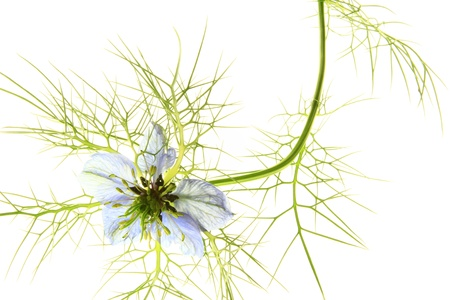 Love-in-a-mist  Nigella damascena , blossom against a white background photo