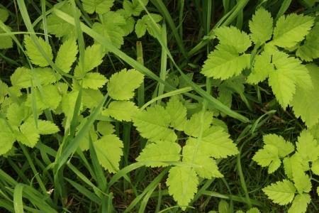 Ground elder is growing as weeds in the Garden, Germany