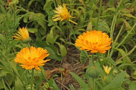 garden marigold: Marigold flowers  Calendula officinalis  in the garden bed
