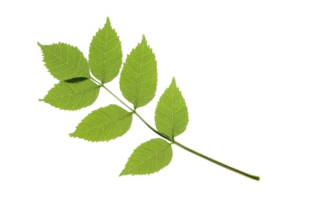 One leaf of the ordinary ash  Fraxinus excelsior , against a white background