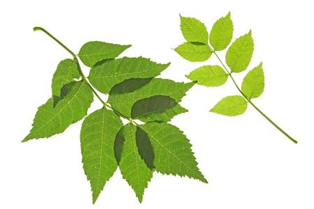 Dos hojas de la ordinaria excelsior Fraxinus cenizas, contra un fondo blanco Foto de archivo