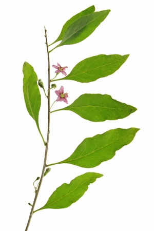 Twig with leaves and flowers of the goji berry or wolfberry  Lycium barbarum  against a white background