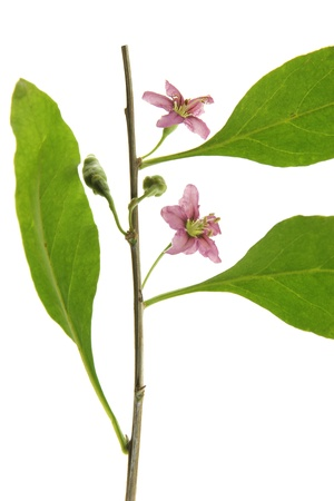 lycium: Twig with leaves and flowers of the goji berry or wolfberry  Lycium barbarum , against a white background Stock Photo