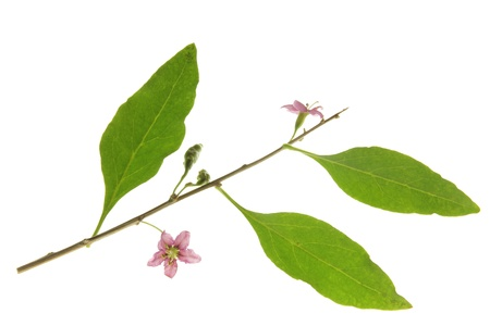 Twig with leaves and flowers of the goji berry or wolfberry  Lycium barbarum , against a white background Stock Photo - 14791785