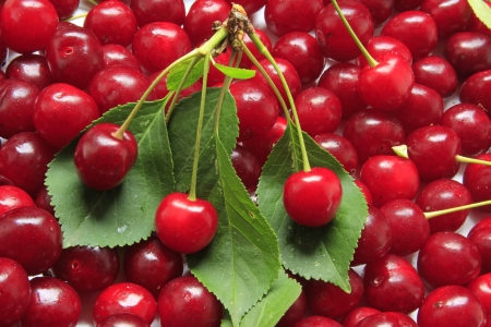 freshly picked sour cherries with some green leaves